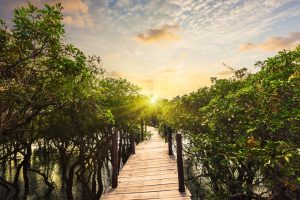 Bridge through mangrove forest at Kompong Phluk